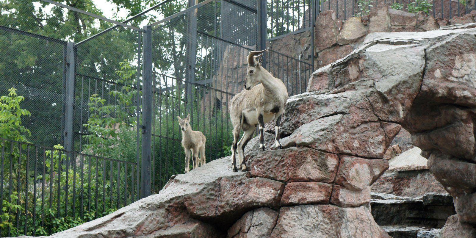 В зоопарке Москвы впервые родился детеныш голубого барана