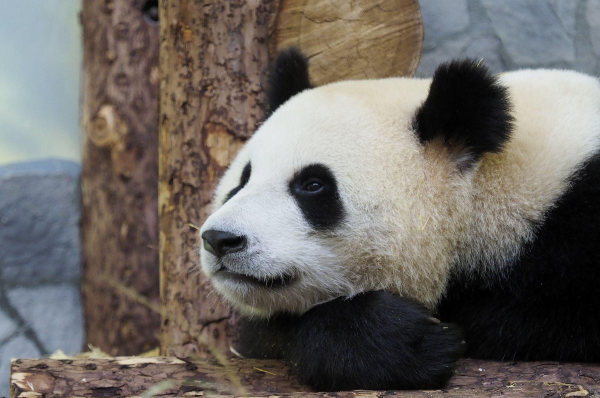 Московский зоопарк объявил о начале трансляции из вольера панд