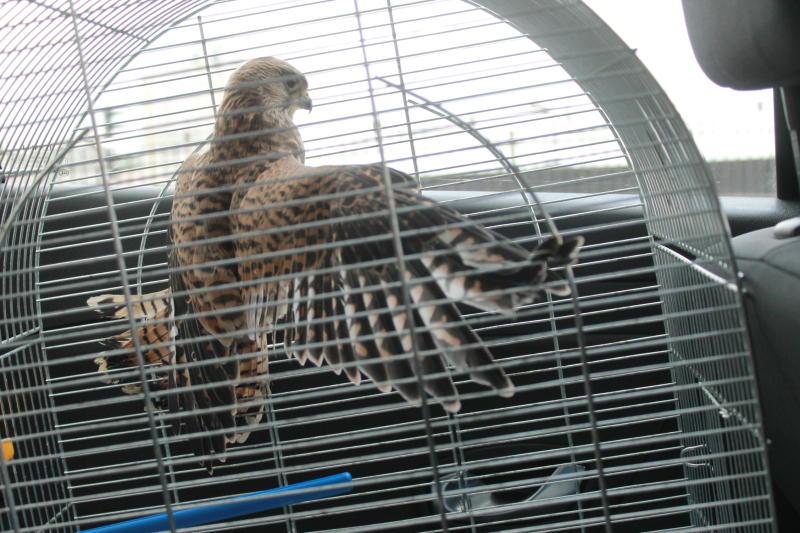 Орнитологи попросили москвичей не тревожить молодых соколов-пустель. Фото: архив