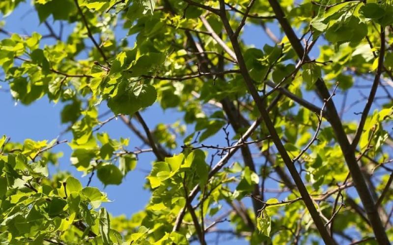 Деревья высадят у детской площадки в Михайлово-Ярцевском