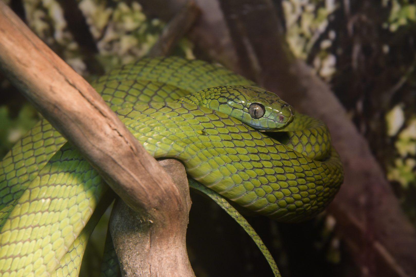 Змеи достаточно самостоятельные питомцы. Фото: Антон Гердо