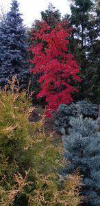 Разноцветная хвоя и листва растений поразят вас красотой. Фото: Виктор Хабаров