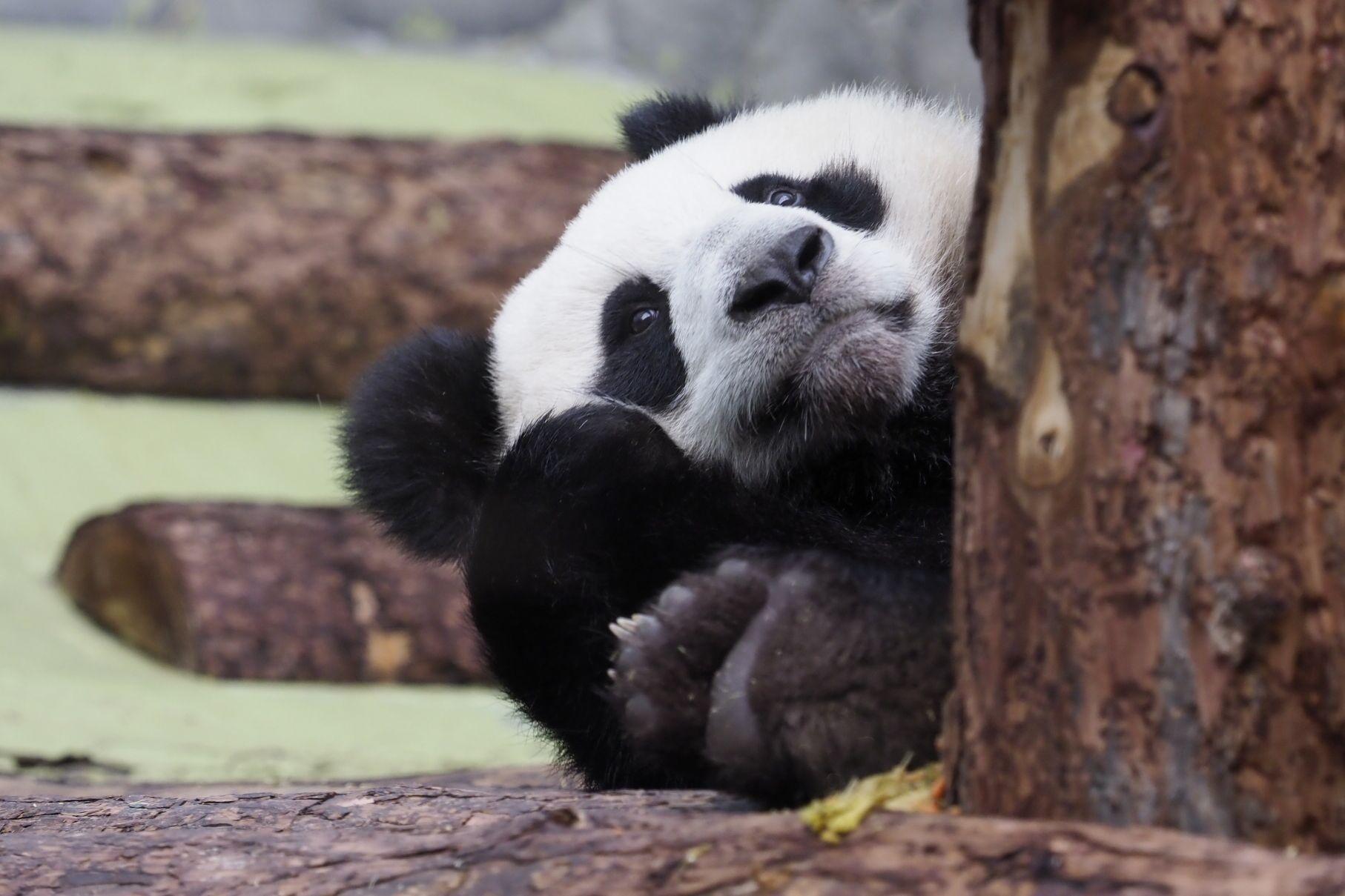 Панды Московского зоопарка начали рисовать