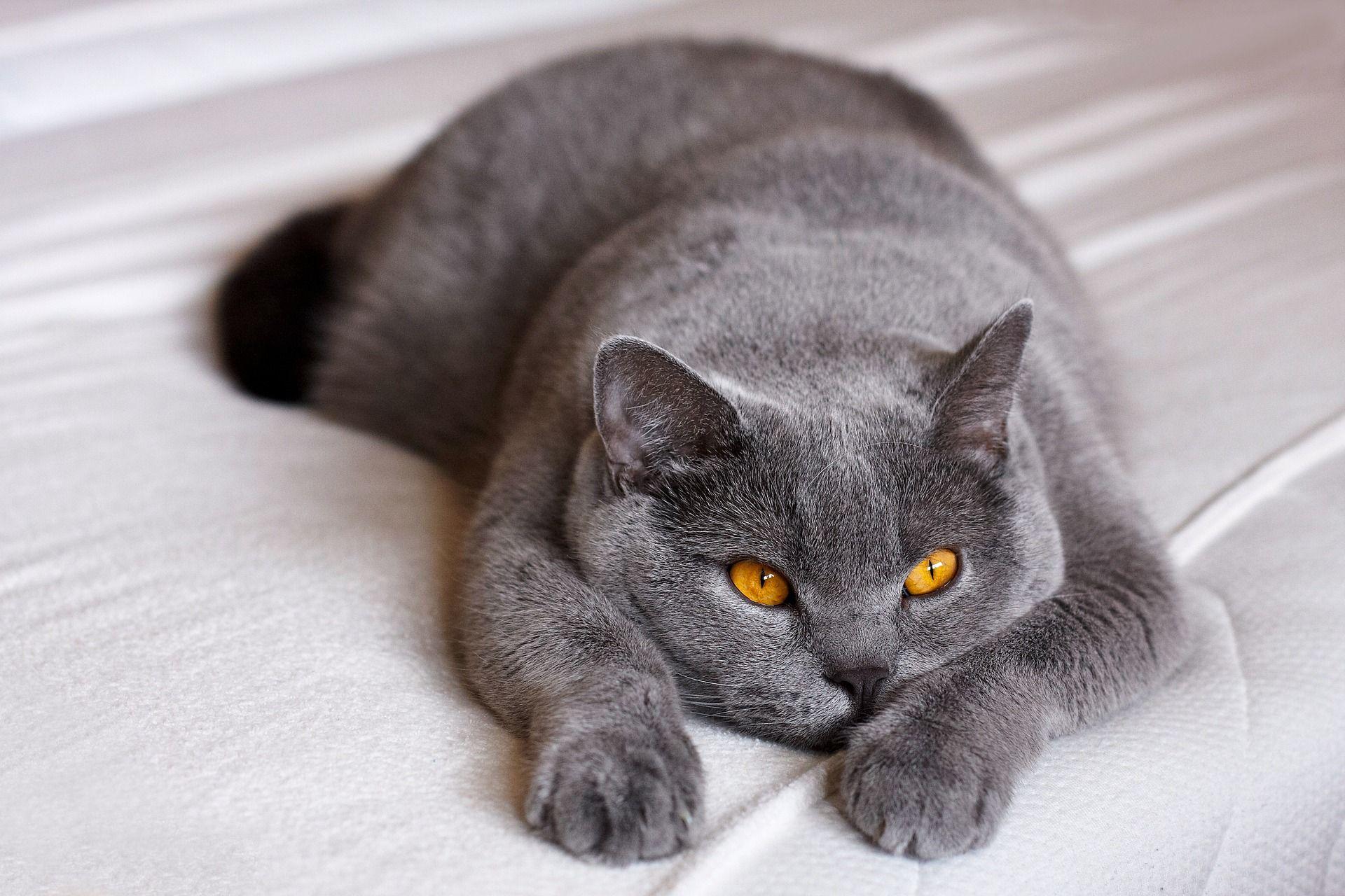 Шотландских и британских кошек чаще всего записывали к ветеринару в Москве