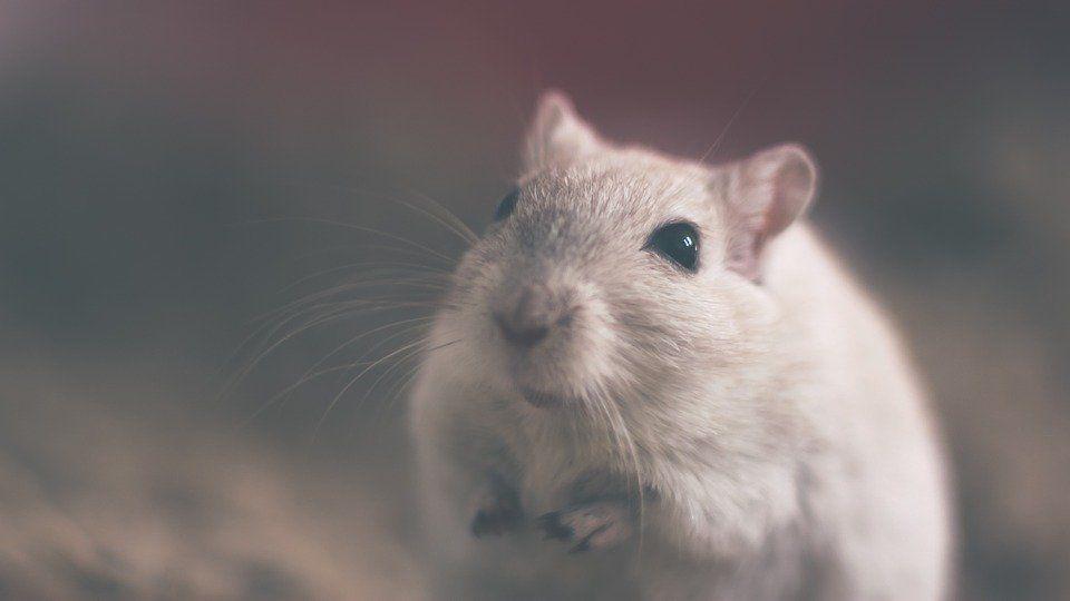 Не пытайтесь приручить белую металлическую крысу