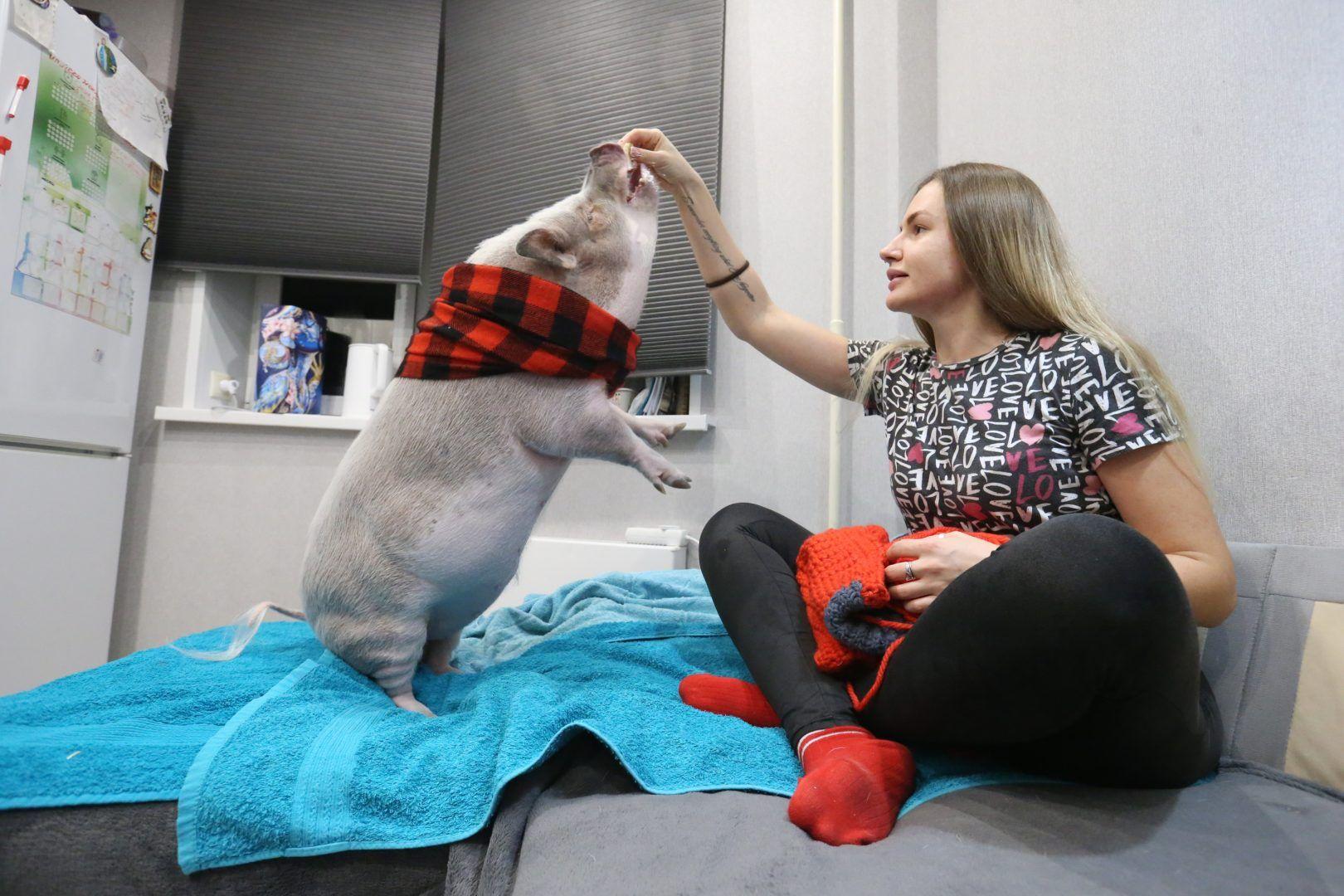 28 ноября 2019 года. Внуковское. Ольга Борисова вяжет свитер для домашнего любимца — мини-пига Локки. Фото: Виктор Хабаров