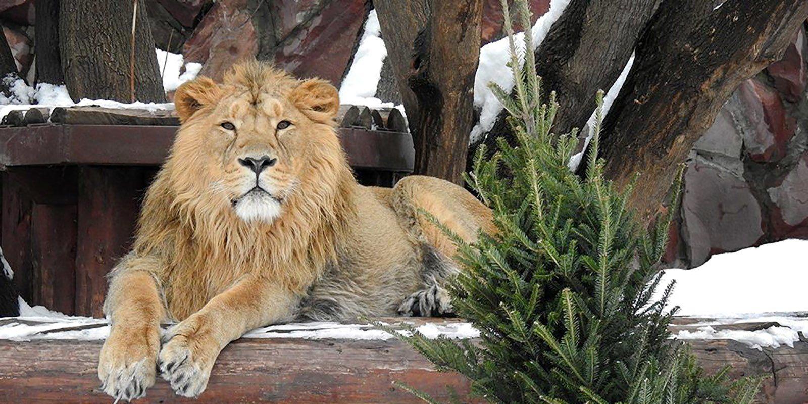 Предприниматели могут сдать нераспроданные ели в Московский зоопарк