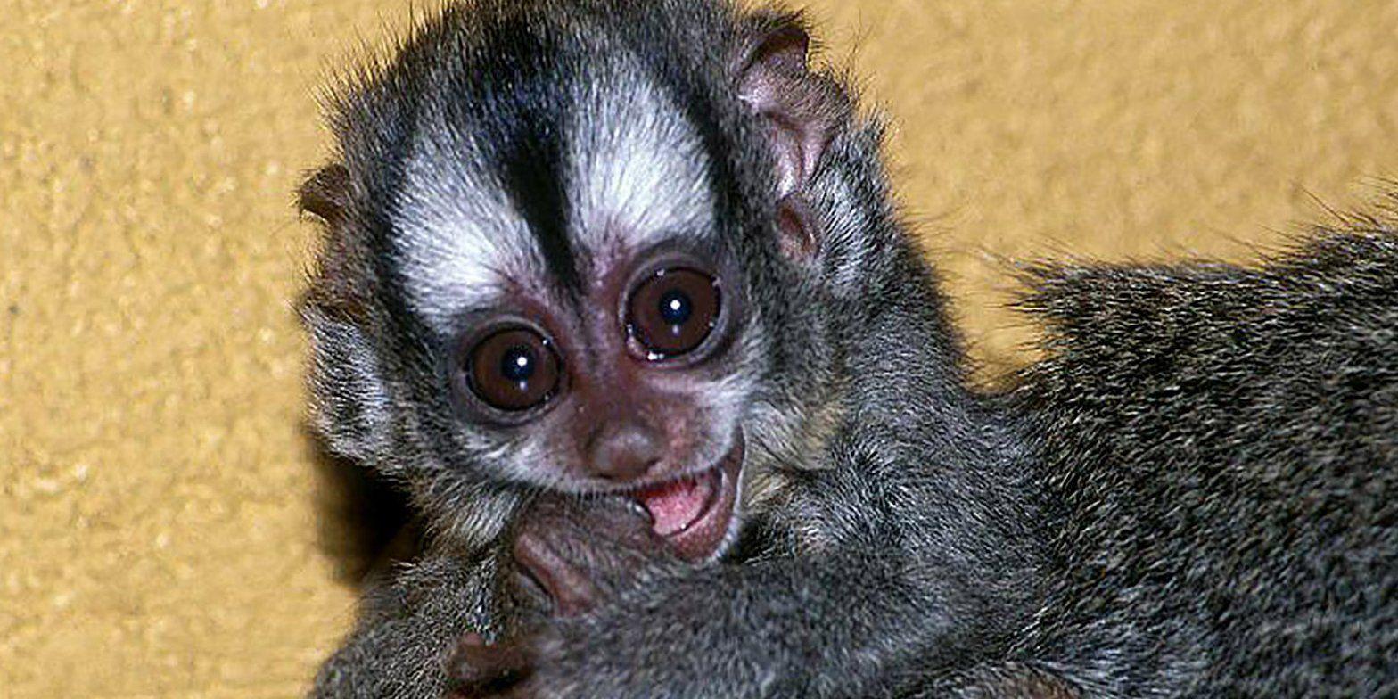 Детеныш боливийских ночных обезьян родился в Московском зоопарке