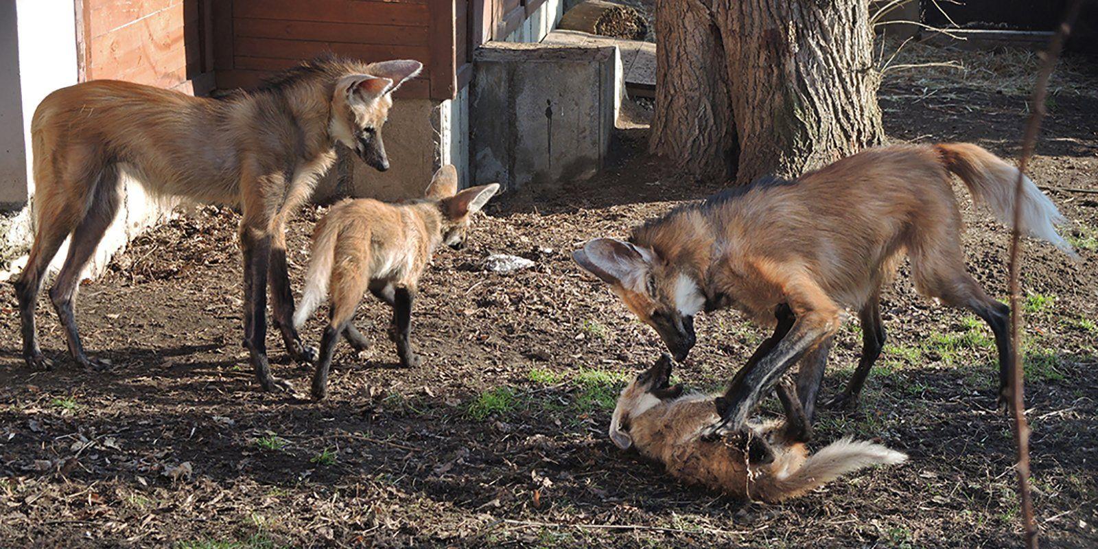 Московский зоопарк объявил о пополнении в семье гривистых волков