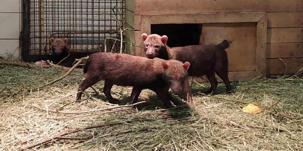 Кустарниковые собаки в зоопарке Москвы впервые обзавелись потомством