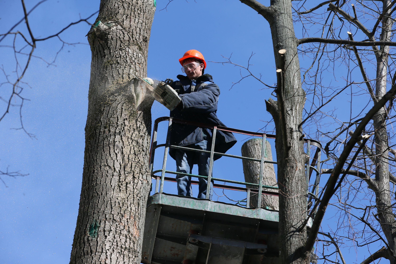 Москва кронирует более 1,6 тысячи деревьев за весну