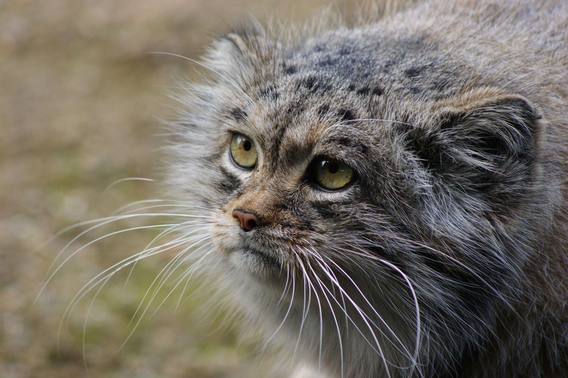 Забайкальский манул вновь поселится в зоопарке Москвы