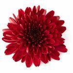 Хризантема. Хорошо сочетаясь с разными цветами, хризантема придает оттенки общему смыслу букета. Красная — любовь. Желтая — хрупкая любовь. Белая — надежда. Фото: SHUTTERSTOCK