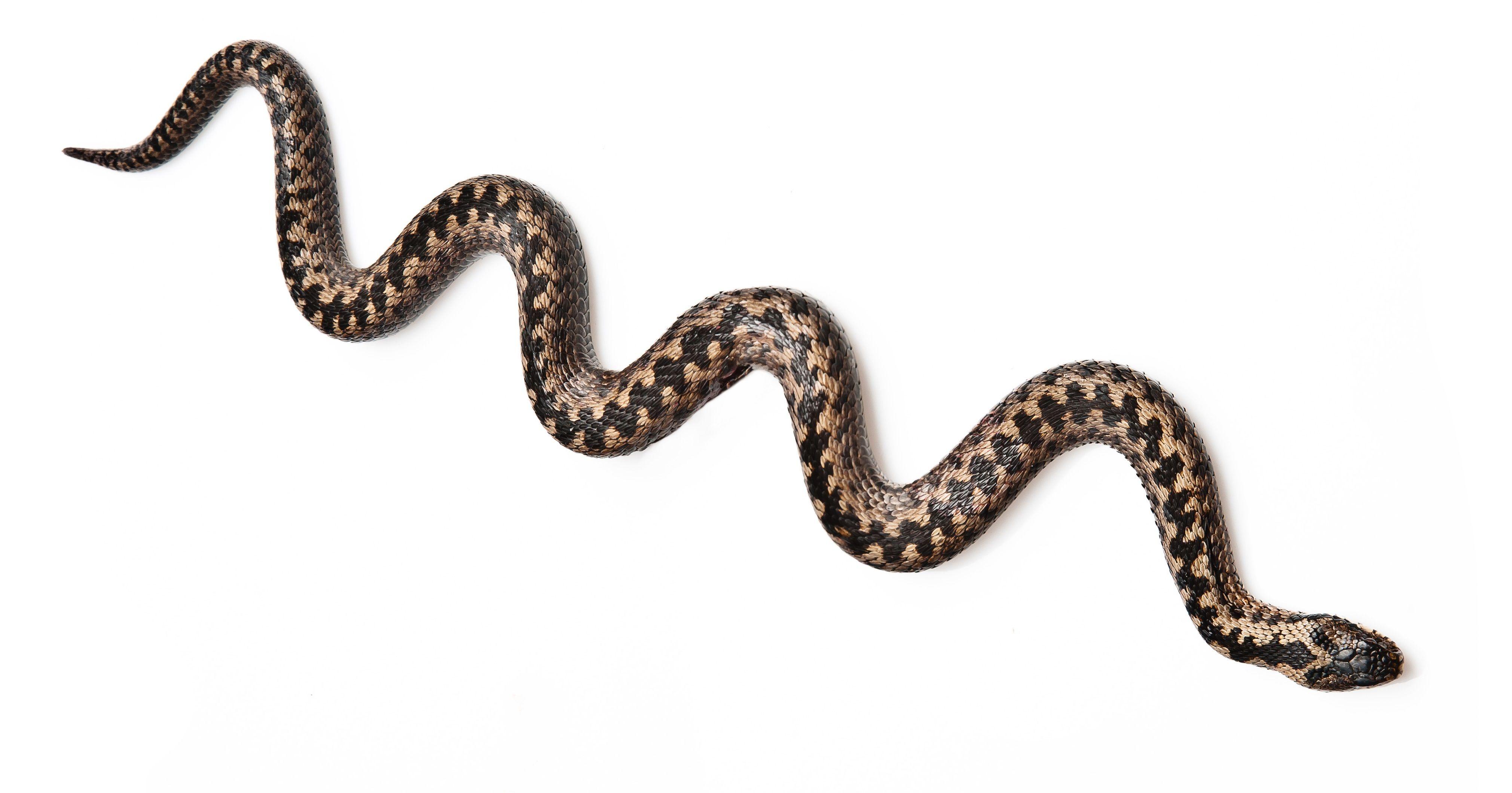 Главная опасность змей сейчас в том, что они только проснулись. Фото: Shutterstock
