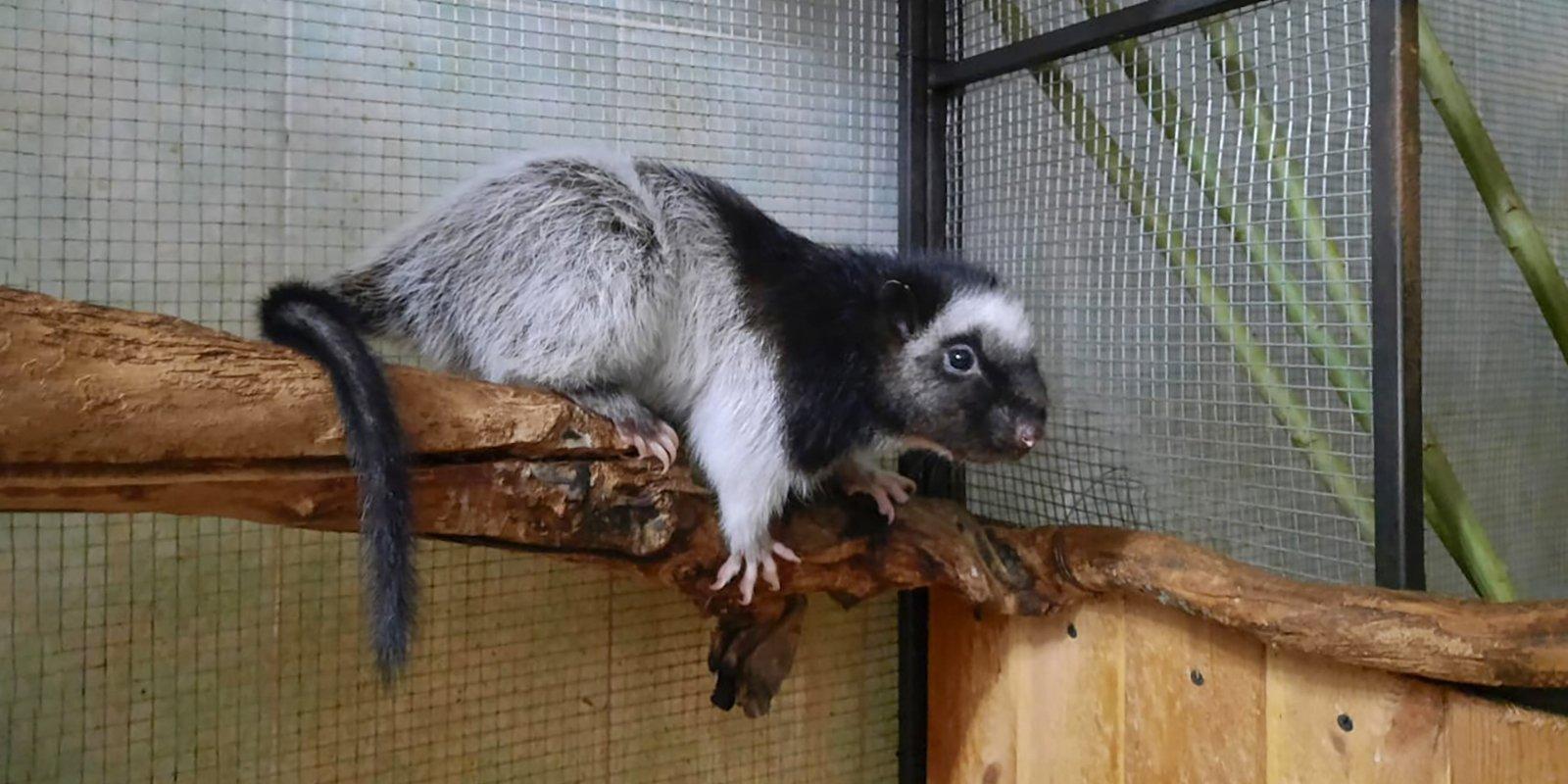 Огромные дымчатые крысы в Московском зоопарке обзавелись потомством
