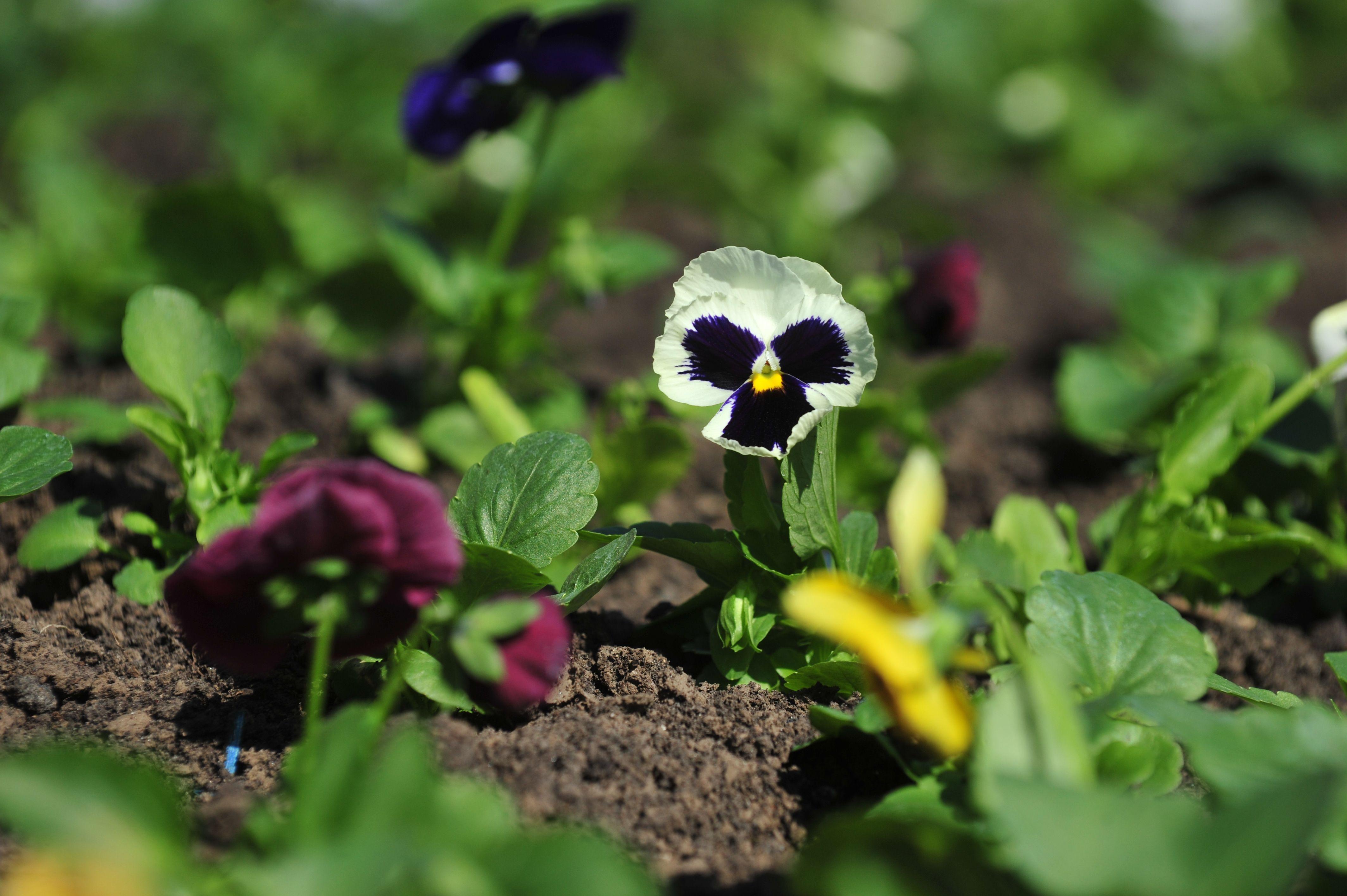 Виола синяя и оранжевая: клумбу в Роговском украсили однолетними цветами