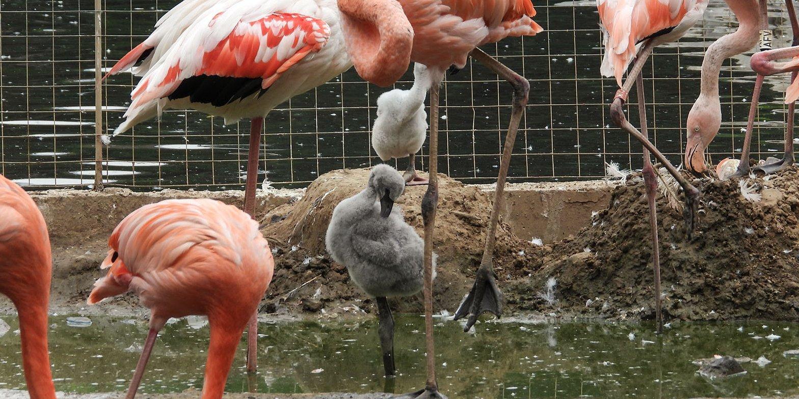 Птенцы фламинго появились на свет в зоопарке Москвы