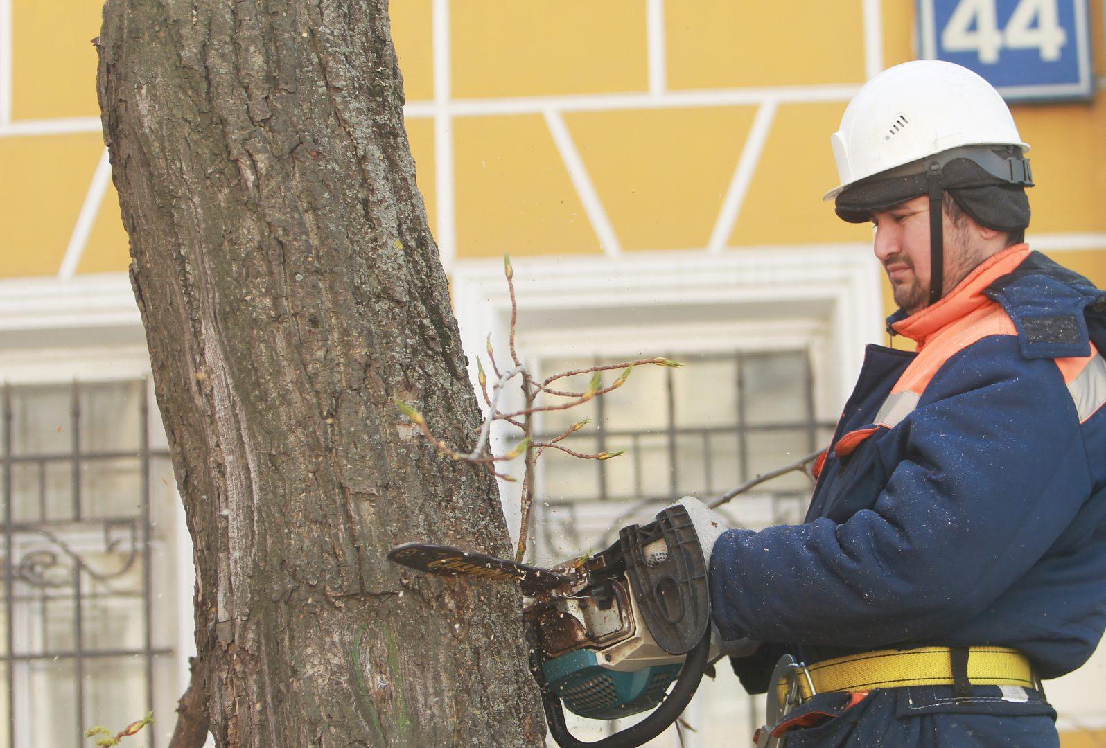 Формовочную обрезку деревьев провели в Роговском. Фото: Наталия Нечаева «Вечерняя Москва»