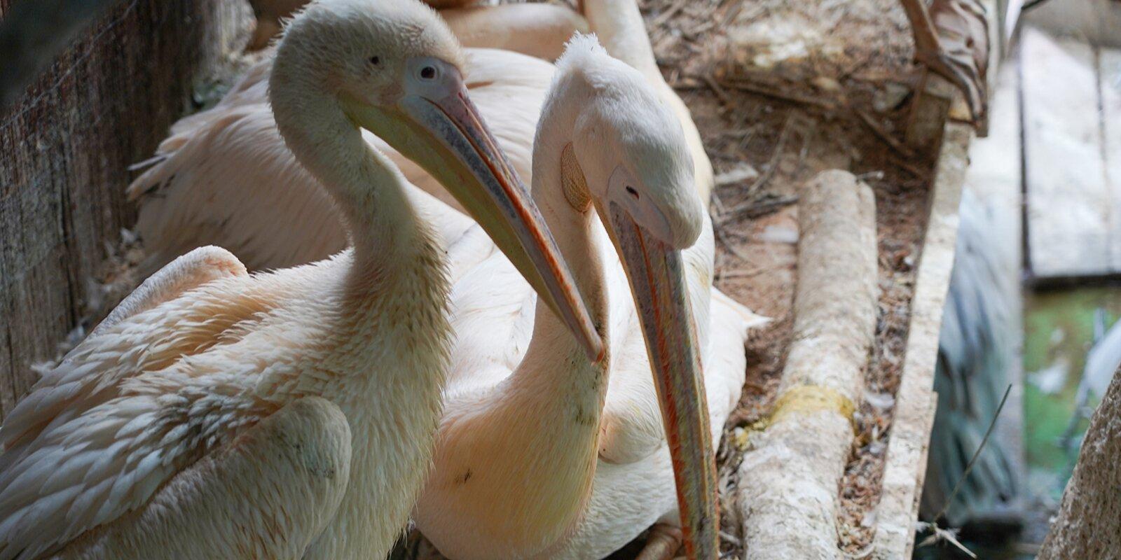 Кудрявые пеликаны вылупились в зоопарке Москвы