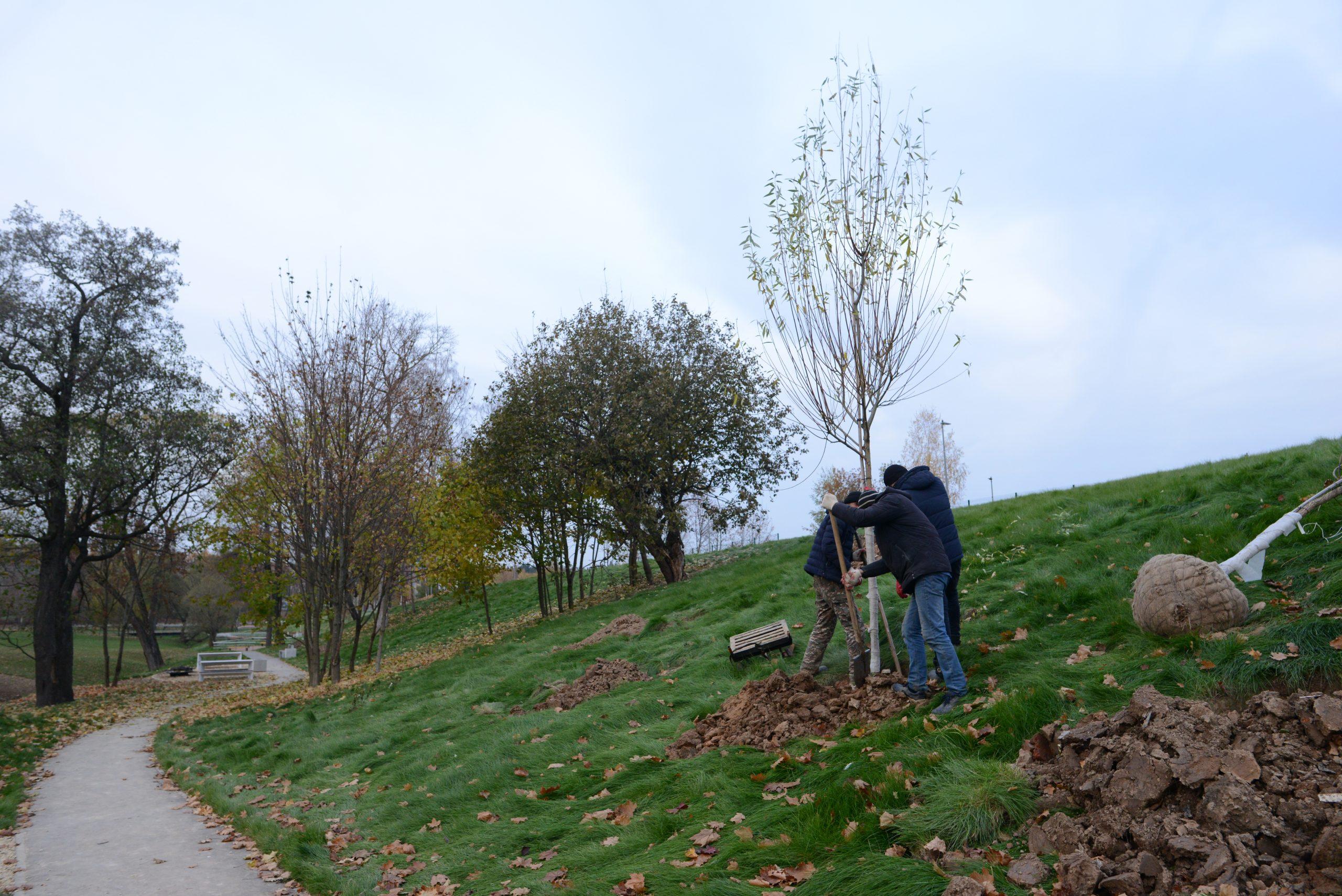 Высадку деревьев начали в Михайлово-Ярцевском
